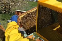 Crolla del 40% la produzione di miele, l'SOS delle api in Puglia