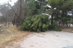 Forte vento, un albero della pineta Bracco collassa sulla strada