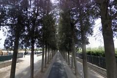 Nuovi cipressi per il viale del cimitero