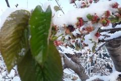 Neve e temperature in picchiata, a rischio colture e primizie