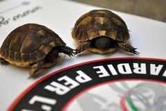Due esemplari di tartaruga in via di estinzione salvate dalle Guardie per l'ambiente