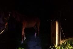 Cavallo imbizzarrito sulla sp 231 provoca incidente