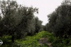 """Geo su Rai3 alla scoperta dell'oliva """"Coratina"""" e dell'Alta Murgia"""