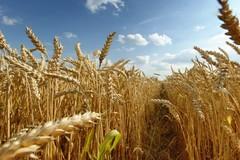 «Il maltempo ha messo in ginocchio la produzione di grano»