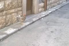 Una gallina solitaria a spasso per la città