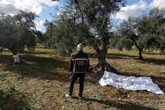 Ladri di olive messi in fuga da Polizia Locale e Gadit