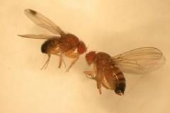 Caldo e moscerini: «Danneggiano la frutta»