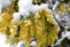 Neve e gelo, allarme per verdure in campo e alberi in fiore