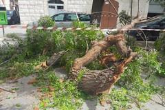 Grosso albero si spezza e finisce sulle auto, paura in piazza Grenoble