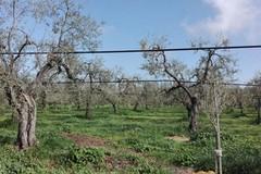 Grave l'epidemia di xylella in Puglia: colpiti da 8 mila a 770 mila ettari in 5 anni