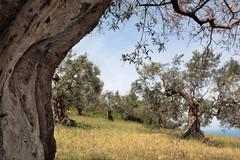 Camminando tra gli ulivi sulle strade dell'olio extravergine