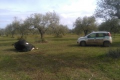 Mucca morta abbandonata nelle campagne coratine