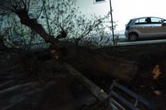 Grosso albero collassato in Piazza Simon Bolivar