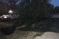 Predoni di olive messi in fuga dai vigilanti