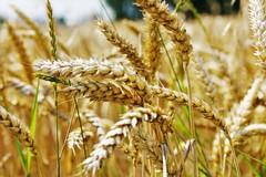 Il futuro del grano pugliese e le nuove sfide: se ne parla in una tavola rotonda