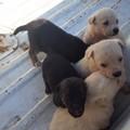Strappati alla morte dodici cuccioli di cane