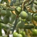 """Coldiretti:  """"Olivi in coma vegetativo """". Crolla la produzone, danni per 270 milioni"""
