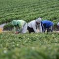 """Agricoltura, M5S scrive ai prefetti: """"tutelare i braccianti nelle ore più calde"""""""