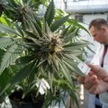 Cannabis a scopo terapeutico: le farmacie di Corato iniziano a interessarsi