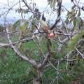 Clima bizzarro: spuntano in Puglia le prime ciliegie, effetti negativi sul Pil agricolo