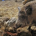 Cinghiali, lupi e fauna selvatica: «Danni per 11 milioni di euro»