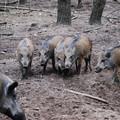 Alta Murgia, cinghiali e lupi attaccano campi e pascoli