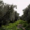 """Geo su Rai3 alla scoperta dell'oliva  """"Coratina """" e dell'Alta Murgia"""