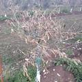 Il Natale degli olivicoltori pugliesi