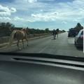 Cavalli scappano da maneggio e percorrono la sp 231