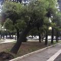 Albero piegato dal maltempo in piazza Simon Bolivar