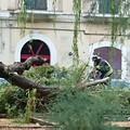 Caduto un grosso albero in Piazza Buonarroti