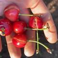 Al via la raccolta delle ciliegie, Coldiretti: «Produzione in calo e ritardo di 10 giorni»