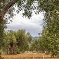 Aziende olivicole più competitive con la tecnologia, la sfida di Op Assoproli