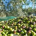 Annata olivicola in sofferenza, previsto -50% di raccolti