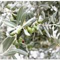 Criminalità nelle campagne, razzia di olive nel barese
