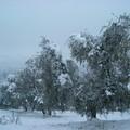 Crisi olivicola, Consiglio regionale approva mozione Damascelli