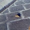 La passeggiata domenicale di un topolino a spasso per il centro