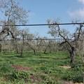 «Strage di ulivi tra Andria e Corato», sale la conta dei danni per il maltempo