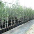 """Un albero d'olivo per la nuova sede Scuola dell'Infanzia """"Madonna Pellegrina"""""""