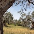 Gli alberi di Corato tra i 144 alberi monumentali di Puglia
