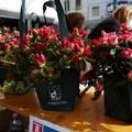 Festa della Mamma, in piazza torna l'Azalea della Ricerca AIRC