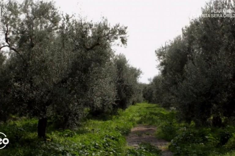 Geo fra gli ulivi della Coratina