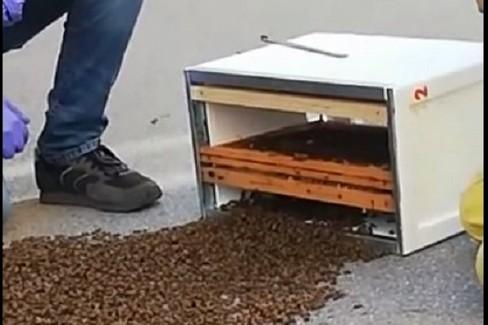 Spettacolo della natura, le api seguono la regina e si salvano dall'asfalto