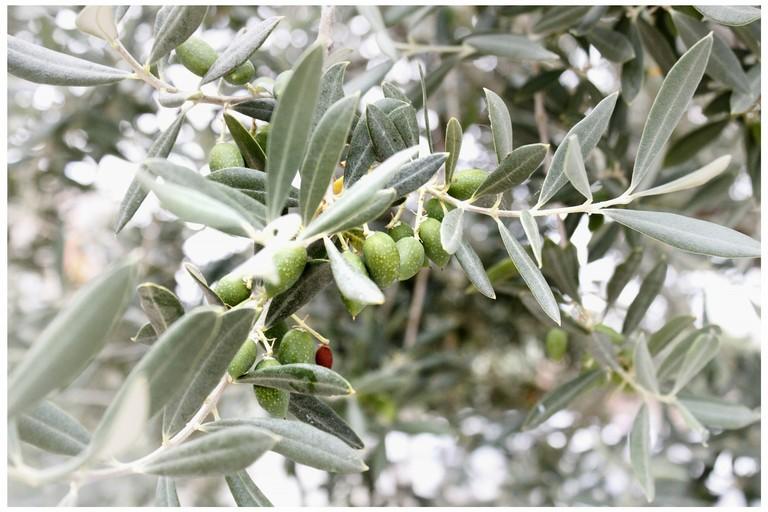 """""""Save the Olives"""", una Onlus per risvegliare le coscienze sulla Xylella Fastidiosa"""