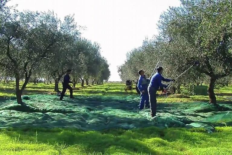 Campagna olivicola (Foto Luciana Cusanno)